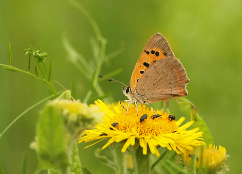 Small Copper (Lycaena phlaeus)