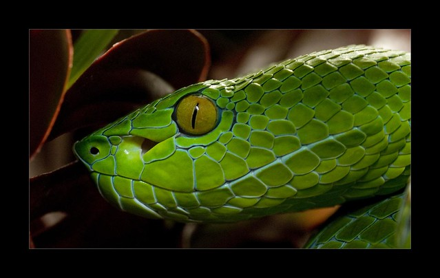 Vogel's PIt Viper | Photographed in captivity. Fabulous ...
