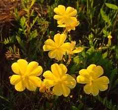 Yellow Primrose #2