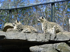 animal, snow leopard, zoo, small to medium-sized cats, mammal, fauna, wild cat,