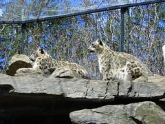 lynx(0.0), bobcat(0.0), wildlife(0.0), animal(1.0), snow leopard(1.0), zoo(1.0), small to medium-sized cats(1.0), mammal(1.0), fauna(1.0), wild cat(1.0),