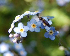 flower, branch, plant, nature, invertebrate, insect, macro photography, wildflower, flora, fauna, forget-me-not, close-up,
