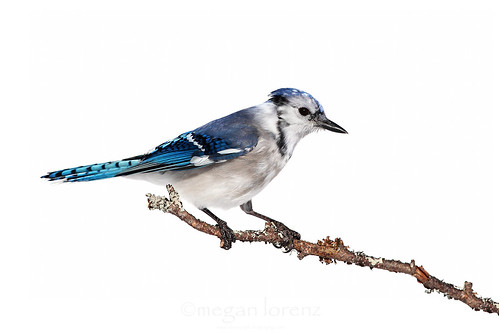 Jay by Megan Lorenz