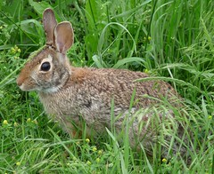 animal, prairie, hare, grass, rabbit, domestic rabbit, pet, fauna, wood rabbit, rabits and hares, wildlife,