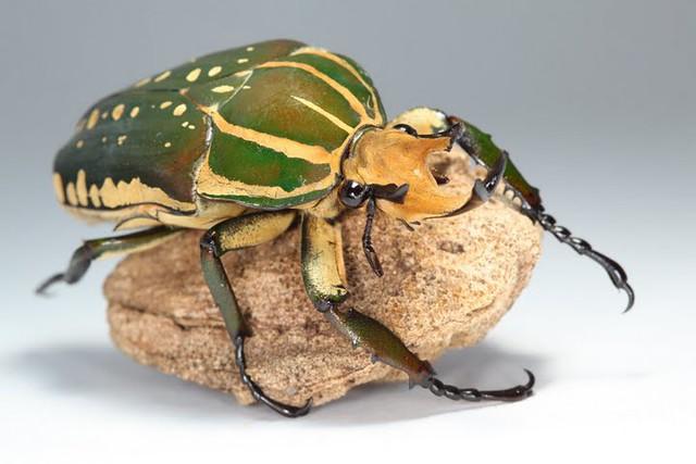 Mecynorrhina polyphemus