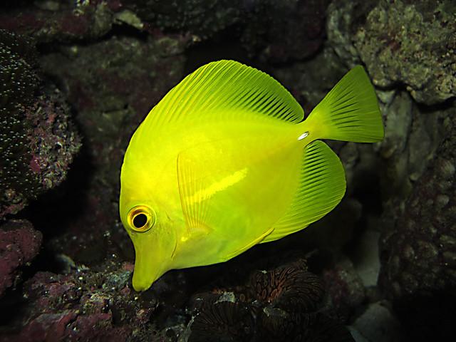 Yellow fish name for Yellow tang fish