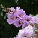 Queen's Crape Myrtle - Pride of India