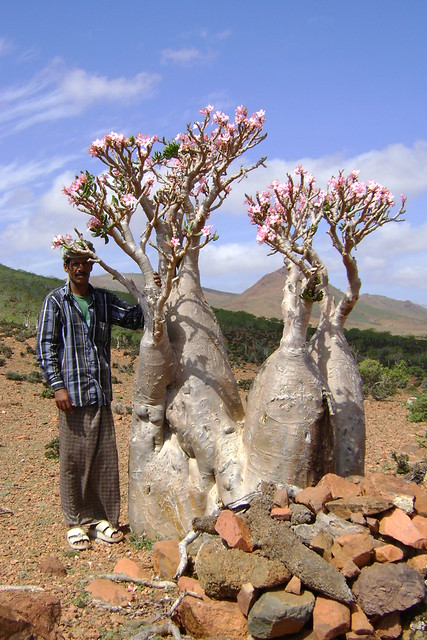DSC02977 Bottle Tree (Adenium obesum socotranum)