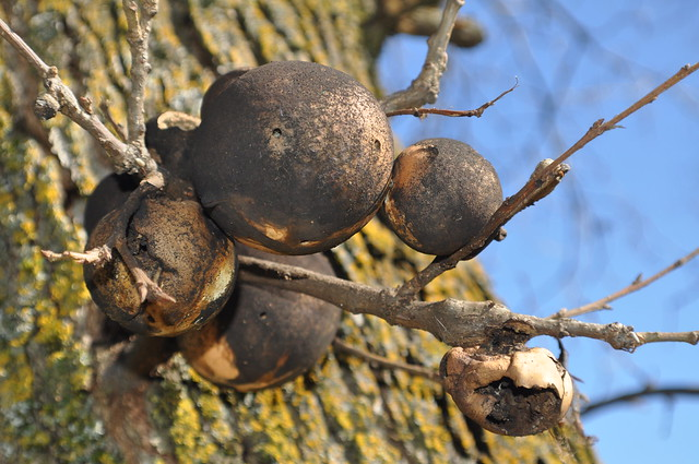 Oak Tree Fungus Balls http://www.flickr.com/photos/1porchlife/4392512657/