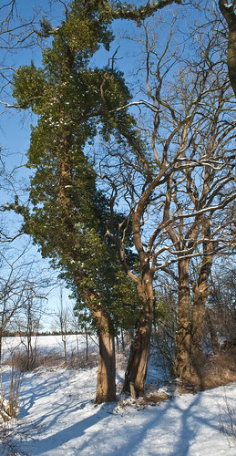 grüner Baum im Winter