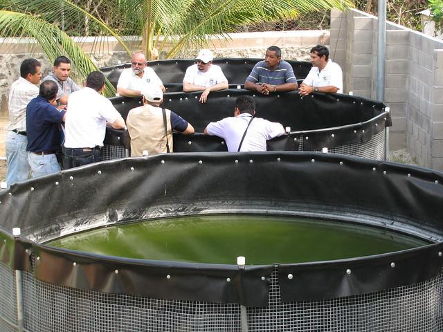 estanques para cultivo de tilapia en planta de cordes bajo
