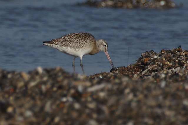 IMGP2788a Bar-tailed Godwit, Titchwell, February 2017