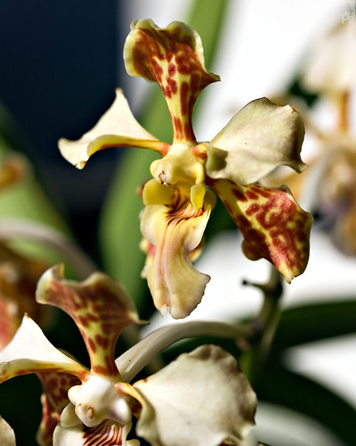 orchid flower macro guatemala flor orquidea pal1970 vosplusbellesphotos