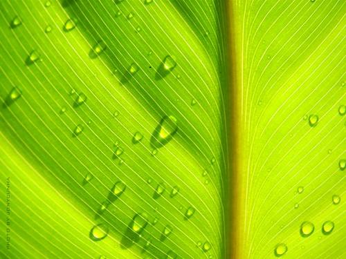 FOLHA FRESCA (Fresh leaf)