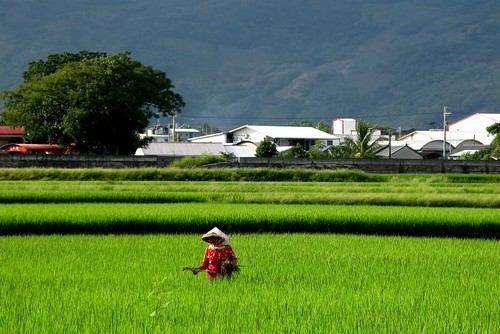 Farmer weeding Chishang rice field by Adventurocity