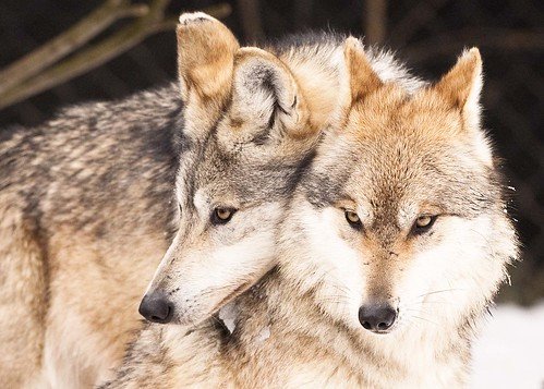 MEXICAN WOLVES by nsxbirder