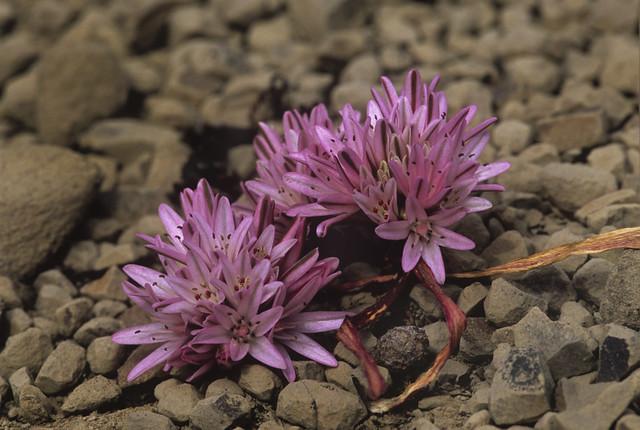 Header of Allium cratericola
