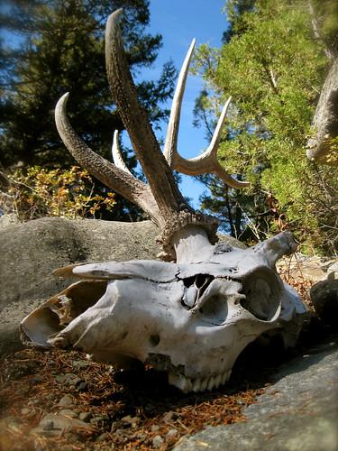 Elk skull by samhDOTnet