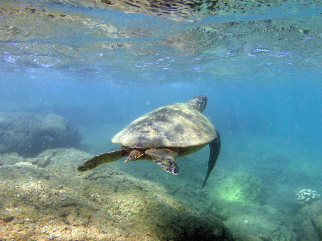 Hawaiian Green Sea Turtle In Kuilima Cove Flickr Photo