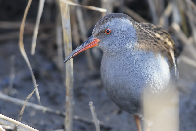 Water Rail (Rallus aquaticus) in Reedbed at RSPB Fairburn Ings, Yorkshire