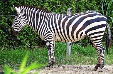 Zebra O Cebra Yahoo GRANT'S ZEBRA (Equus q...