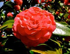 camellia sasanqua(0.0), camellia(1.0), floribunda(1.0), flower(1.0), red(1.0), plant(1.0), macro photography(1.0), flora(1.0), camellia japonica(1.0), theaceae(1.0), petal(1.0),