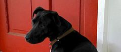 animal, dog, red, pet, mammal, guard dog, black,