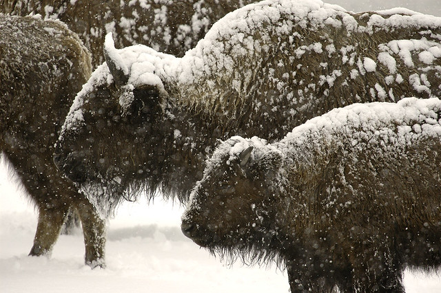 bison outlined in snow
