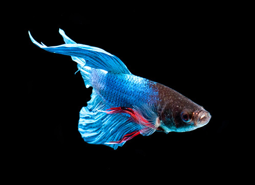 My son named him peanut butter-  Betta - fighting fish