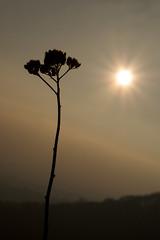 Plant Silhouette Sun