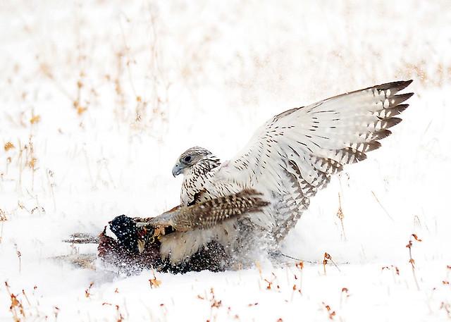 Falconiformes. sub Falconidae - sub fam Falconinae - gênero Falco - Página 3 4204636353_a28b04d4e3_z