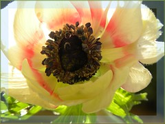 Poppy (hybrid) with pearls ...