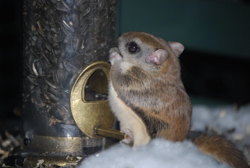 Flying Squirrel at Birdfeeder