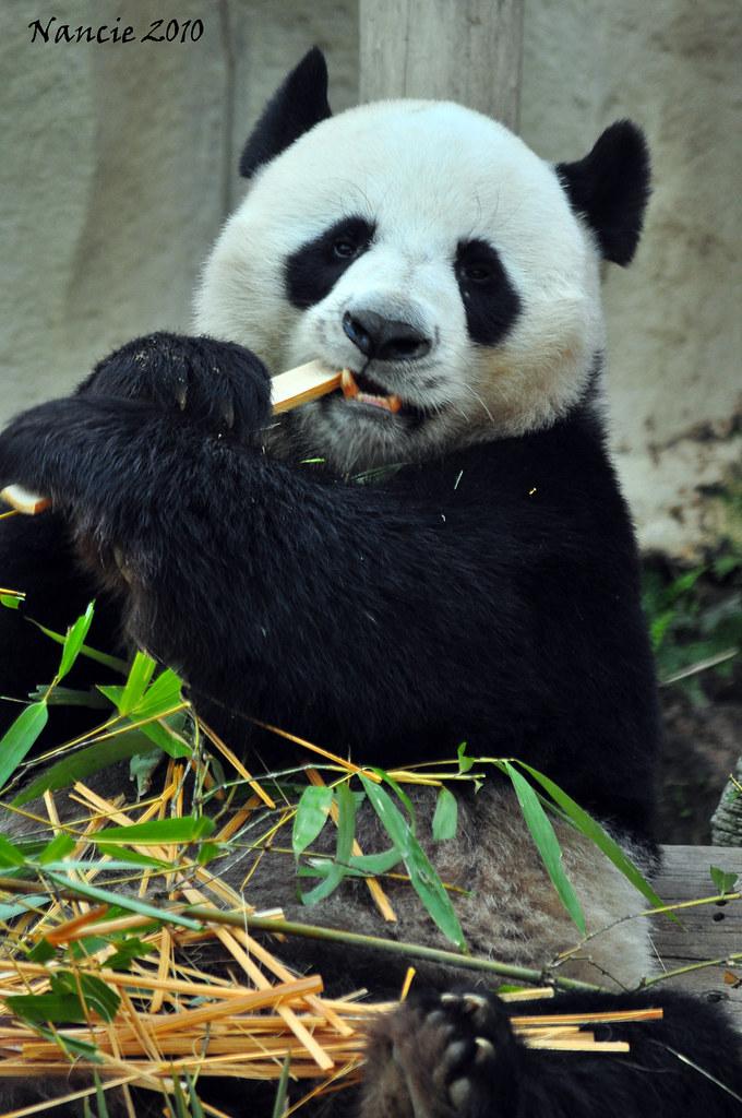 Panda -- Chiang Mai Zoo