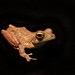 African foam-nest tree frog - Photo (c) Brian Gratwicke, some rights reserved (CC BY)