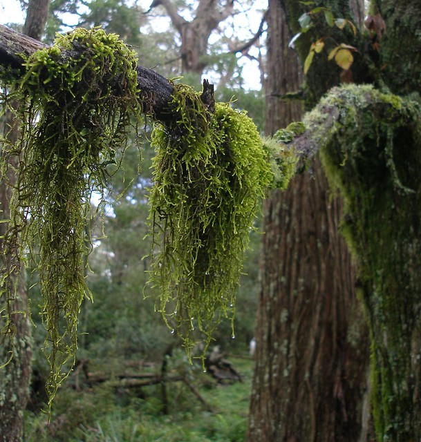 hanging moss P3230096 | Flickr - Photo Sharing!