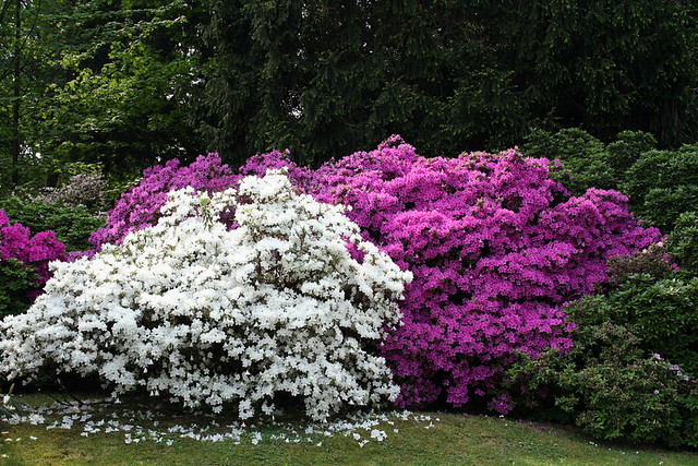 Siepi fiorite hedges in flower flickr photo sharing for Siepi fiorite