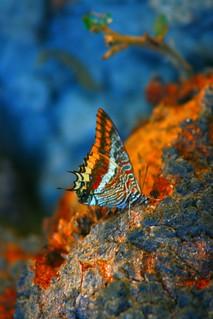 Ninfa del corbezzolo (Charaxes jasius)