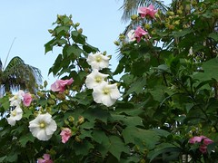 Confederate Rose (Hibiscus mutabilis) | by Tatters ✾