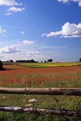 Poppies 2011