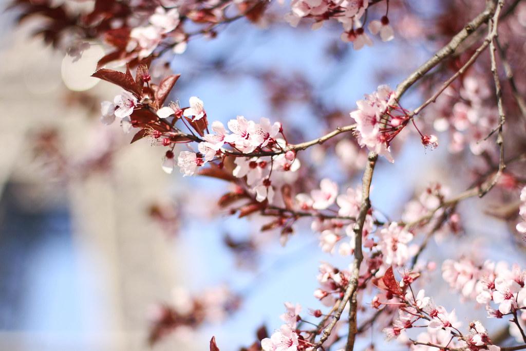 Cherry blossom in the Champ de Mars-3.jpg