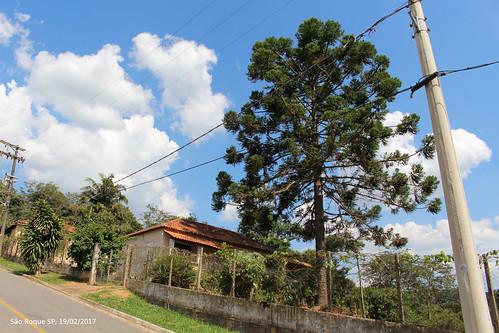 Araucária em Cangüera - São Roque - SP