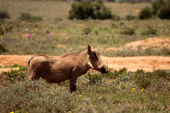 animal, grass, nature, mammal, fauna, wilderness, warthog, pasture, savanna, safari, wildlife,