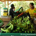 Busy at Packing Bananas - Chapare, Bolivia