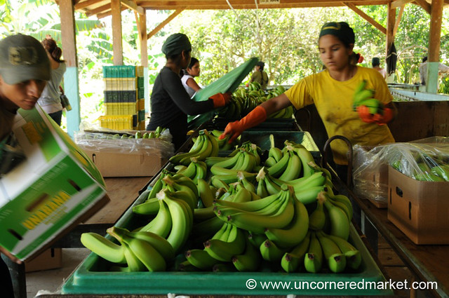 Busy at Packing Bananas - Chapare, Bolivia