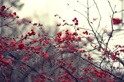 blue trees winter red plant black cold yellow vintage bush berries tones redberries asheboro ncstatezoo eos5dmarkii