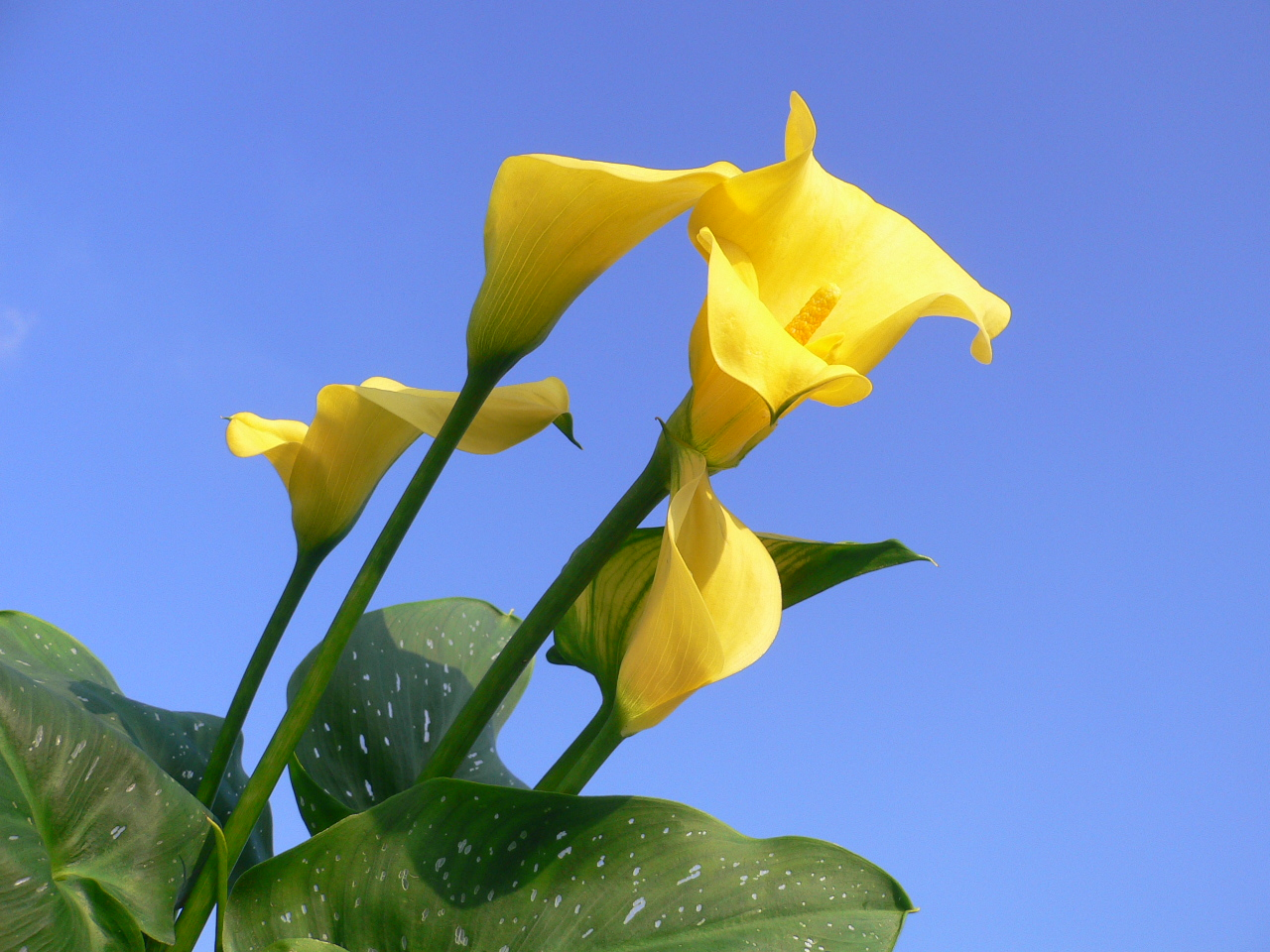 Yellow calla (Zantedeschia Elliottiana)