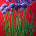 Chives - Photo (c) Emmanuel LATTES, some rights reserved (CC BY)