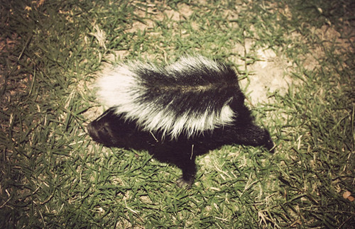 4436246022 2a1520ca9b Courage in the Face of Skunks: How to Catch a Skunk