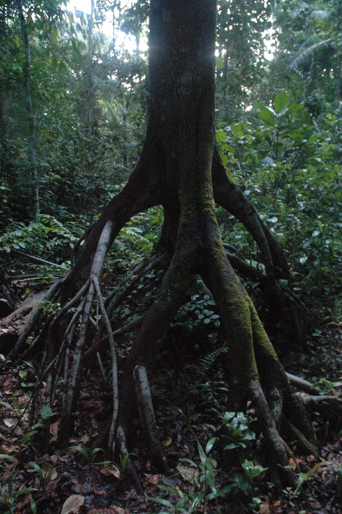 Ngezi Forest, exposed roots